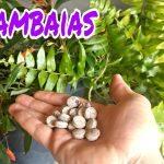 COMO CULTIVAR SAMAMBAIAS – DICAS